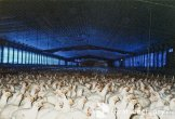 more factory farm meat chickens