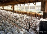 factory farm meat chickens
