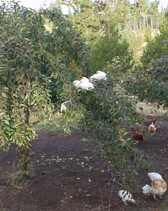 free range chickens on a pear tree