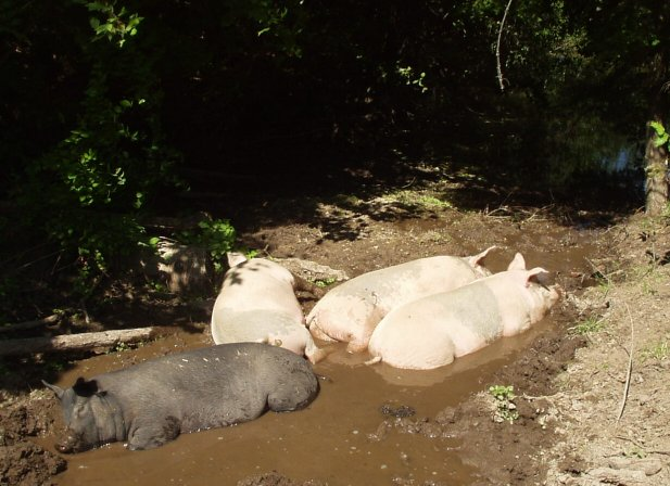four pigs in a mud puddle
