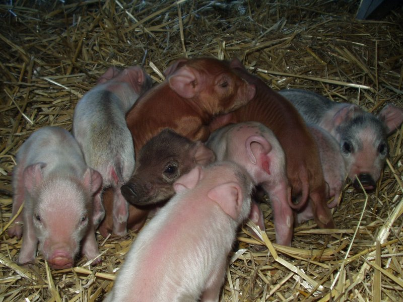 baby piglets with mother pig